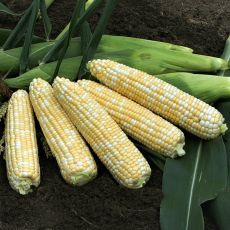 HYBRID SWEET CORN, ANTHEM XR XTRA-TENDER