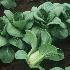 HYBRID CABBAGE, MEI QING CHOI
