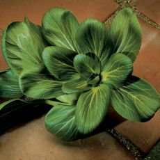 HYBRID CABBAGE, FENG QING CHOI