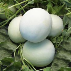 HYBRID MELON, FULL MOON