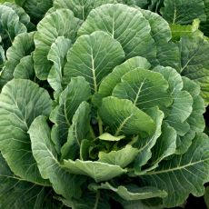 HYBRID COLLARD, TOP BUNCH 2.0