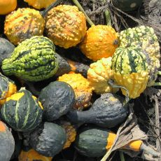 GOURD, SMALL WARTED INDY MIX