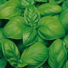 HERB, BASIL SUPERBO