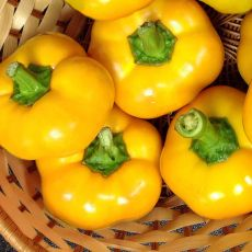 HYBRID PEPPER, YES TO YELLOW!