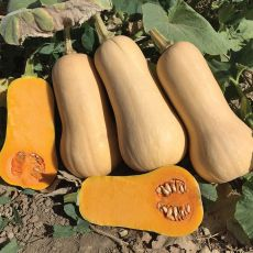 HYBRID SQUASH, EARLY NUTTER