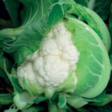 HYBRID CAULIFLOWER, APEX