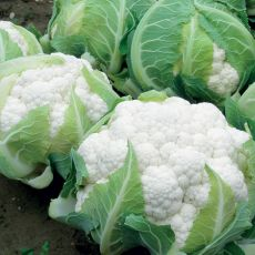 HYBRID CAULIFLOWER, AQUARIUS
