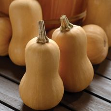 SQUASH, BUTTERBABY