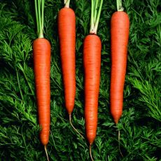 HYBRID CARROT, CELLOBUNCH