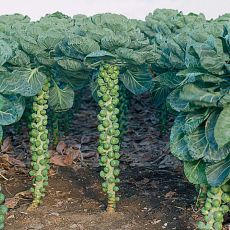 HYBRID BRUSSELS SPROUTS, COBUS