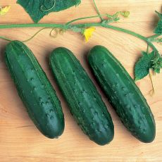 HYBRID CUCUMBER, CROSS COUNTRY