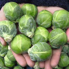 HYBRID BRUSSELS SPROUTS, DAGAN