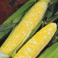 HYBRID SWEET CORN, DELECTABLE