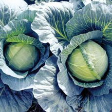 HYBRID CABBAGE, EARLY THUNDER