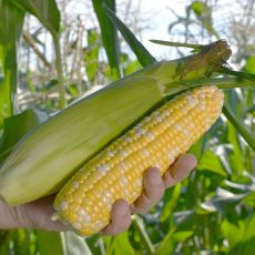 HYBRID SWEET CORN, FLAGLER