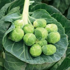 HYBRID BRUSSELS SPROUTS, GUSTUS