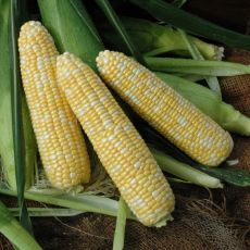 HYBRID SWEET CORN, HERO XR XTRA-TENDER