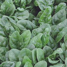 HYBRID SPINACH, RS06661470