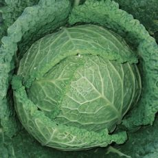 HYBRID CABBAGE, SERPENTINE