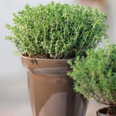 HERB, THYME WINTER