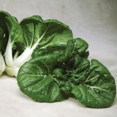 HYBRID CABBAGE, TOY CHOY